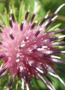 Articum flores