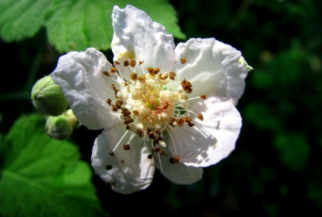 Bear berry Flower