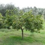 Cachi Tree