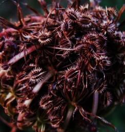 Dacus seeds