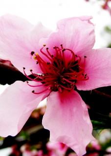 Peach flores